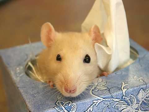 Мордочка крысы