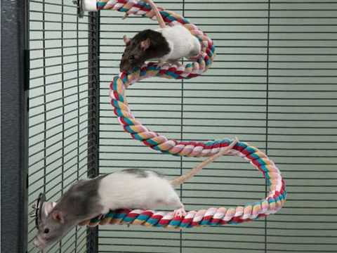 Крысы играют