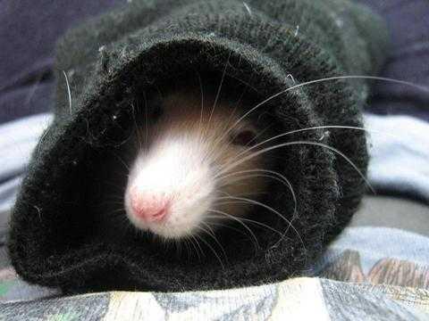 Крыса в носке
