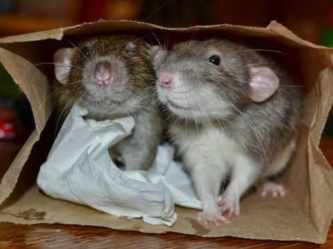 Крысы в пакете